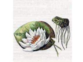 Кувшинка Белоснежная (Nymphaea Candida J. et C. Presl.)