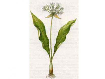 Лук Медвевжий, Черемша (Allium ursinum L.)