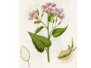 Лунник Оживающий (Lunaria rediviva L.)