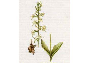 Любка Зеленоцветковая (Platanthera chlorantha (Cust.) Reichenb.)