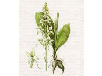 Любка Двулистная (Platanthera bifolia (L.) Rich.)