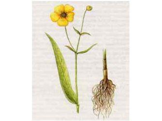 Лютик Длиннолистный (Ranunculus lingua L.)