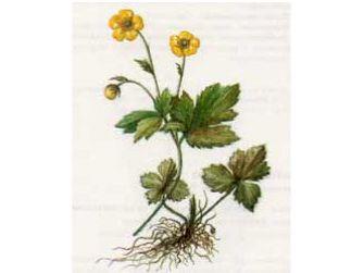 Лютик Северный (Ranunculus borealis Trautv.)