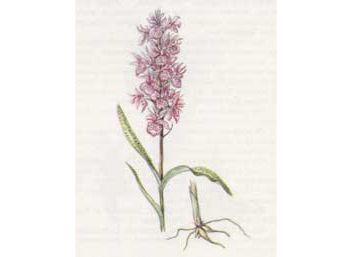 Пальчатокоренник Траунштейнера (Dactylorhiza traunsteineri (Saut.) Soo)
