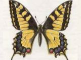 Махаон (Papilio machaon Linnaeus, 1758)