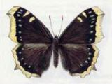 Траурница (Nymphalis antiopa Linnaeus, 1758)